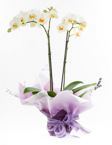 Gift Wrapped Phalaenopsis Orchid