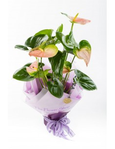 Gift Wrapped Anthurium Plant