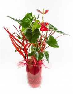 Anthurium in Glass Vase